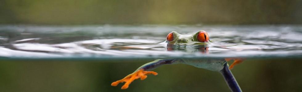 Swimmimgfrog